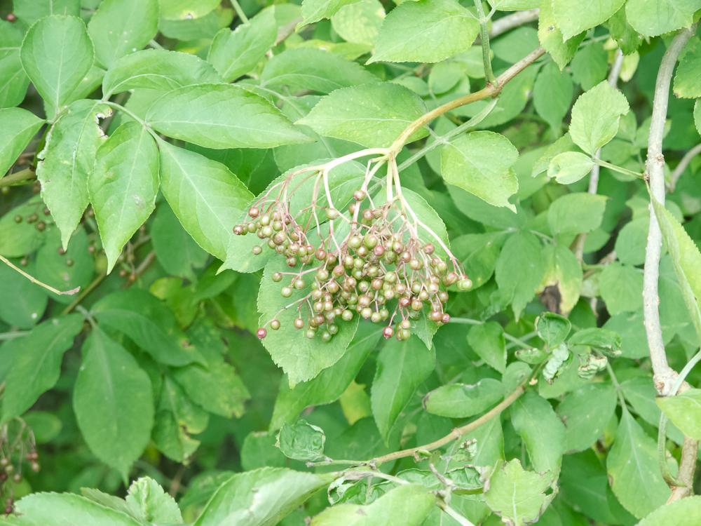 Niedojrzałe owoce czarnego bzu
